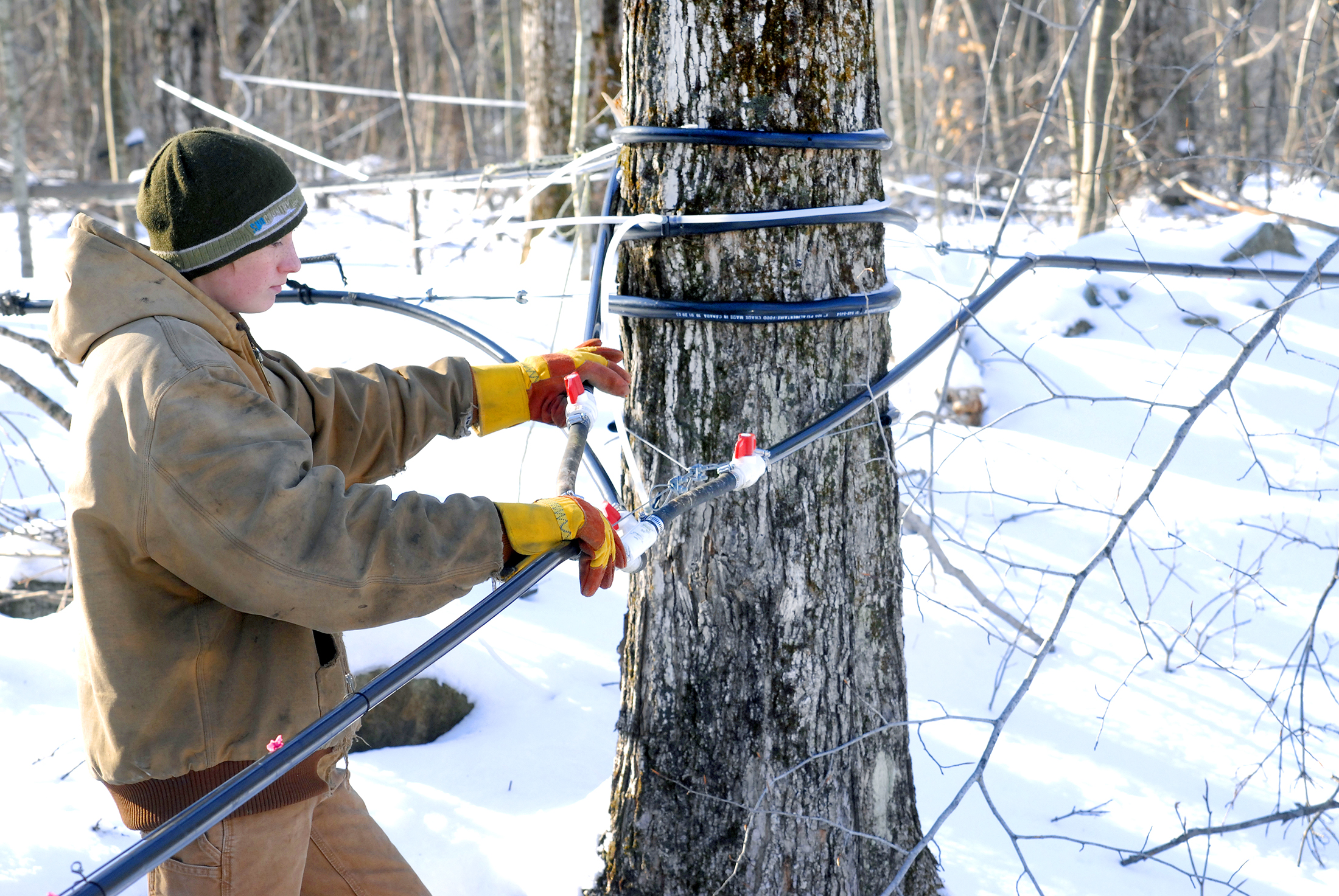 Matt Ripley, of the Maple Corner Farm, in Granville, checks the sap lines. (File photo by Frederick Gore)