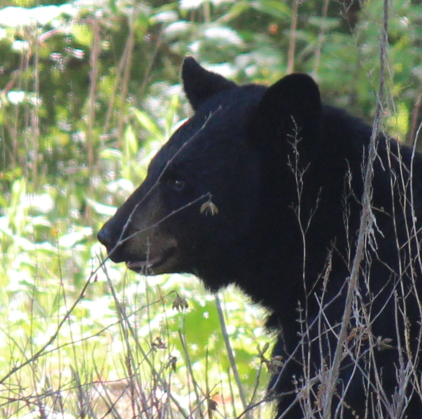Southwick police warn residents of daily bear sightings