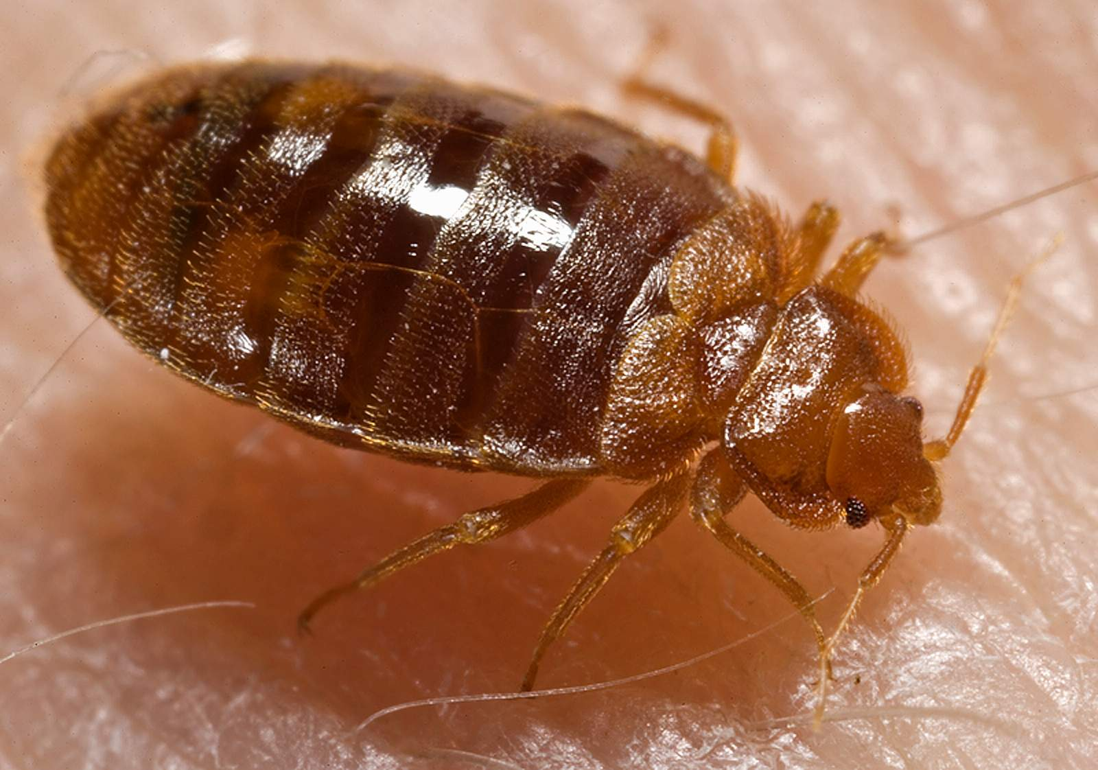 Bedbugs continue to bother some Westfield residents