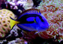 Movie Puts Blue Tangs In Spotlight