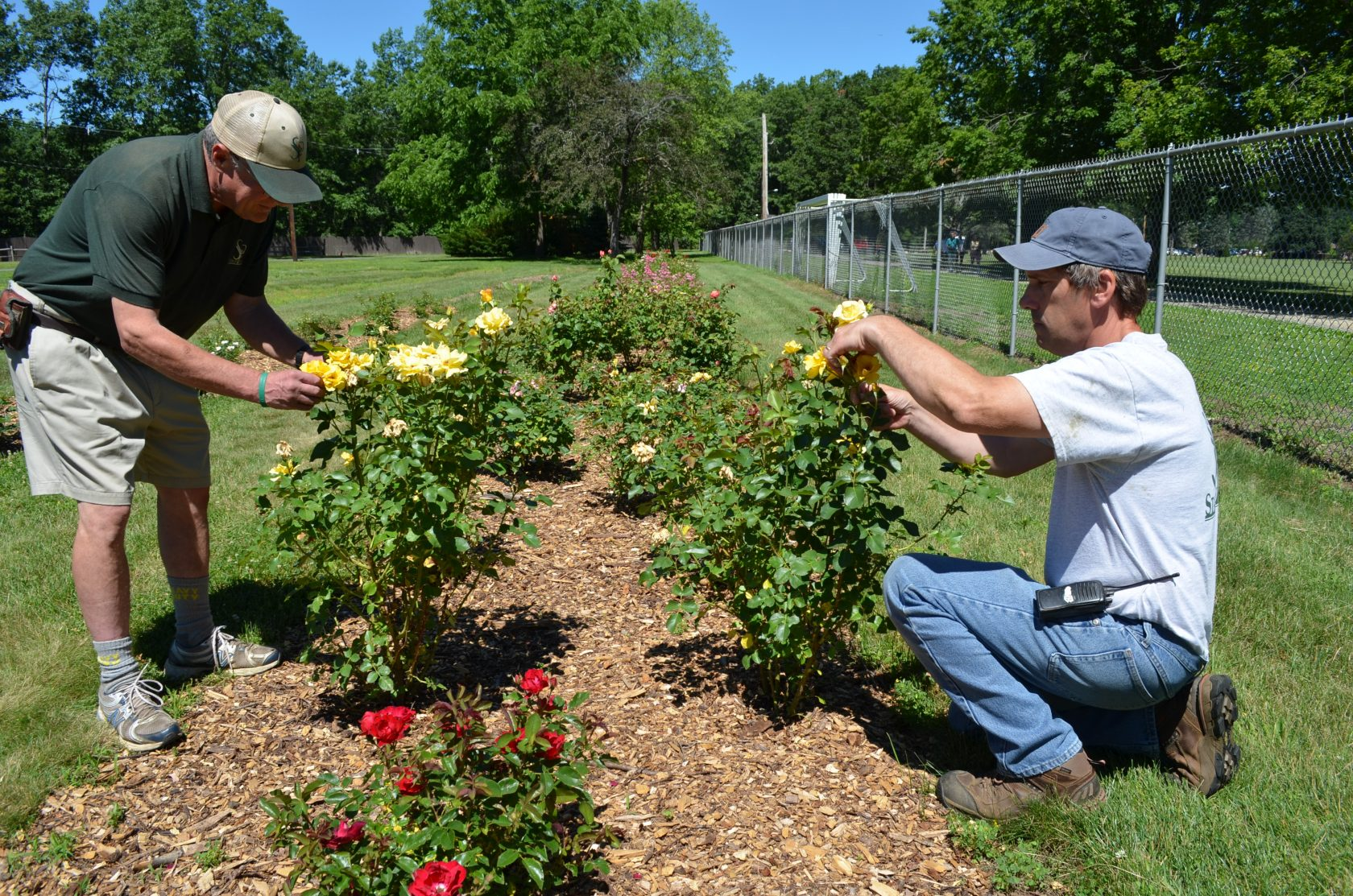 Roses put to the test at Stanley Park